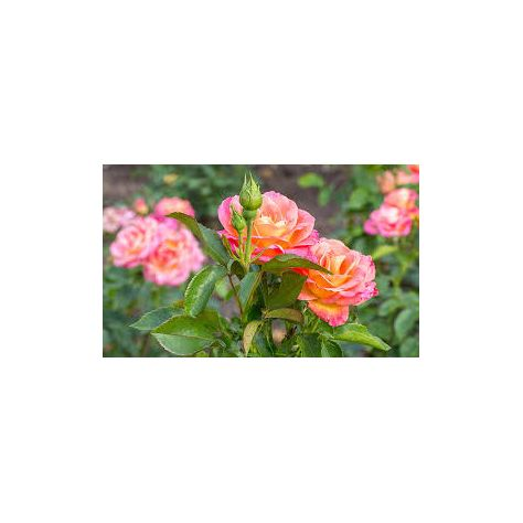 Naked Flame Candles Reed Diffuser - Rose Garden